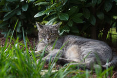 Cat lying on side on the grass looking at camera Royalty Free Stock Photos