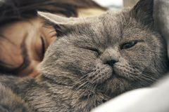 Cat lying with sleeping woman. British short hair cat lying with sleeping woman Royalty Free Stock Photos