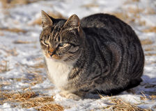 Cat lying on the snow Royalty Free Stock Photography