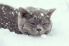 Cat lying in the snow Royalty Free Stock Image