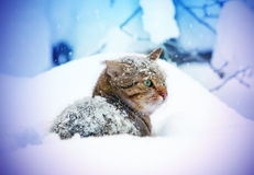 Cat lying in snow Royalty Free Stock Image