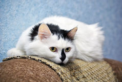 Cat lying on a sofa Stock Photos