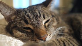 A cat lying on the sofa. Close up. Selective focus stock footage