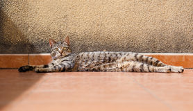 Cat lying stretched and resting Royalty Free Stock Image