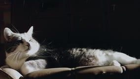 Cat Lying su uno strato che perde i suoi capelli quando qualcuno viene ad adularlo archivi video