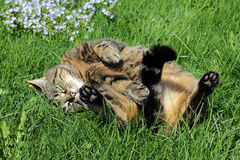A cat lying in the sun and rolled over on his back. Enjoy and feel - A cat lying in the sun and rolled over on his back royalty free stock images