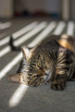 The cat is lying in the sunshine Royalty Free Stock Images