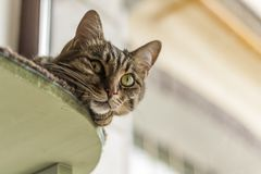 The cat is lying on the table. And looking down royalty free stock images