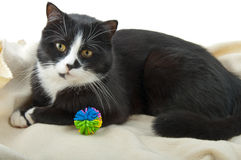Cat lying with a toy on a white Stock Photos
