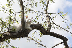 Cat lying on a tree. Big white cat with blue eyes lying on a tree against cloudy and blue sky of spring season Stock Images