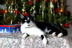 Cat. Lying under their Christmas tree royalty free stock images