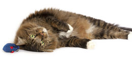 Cat Lying Upside Down Royalty Free Stock Image