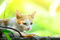 A cat is lying on the wall. A white and brown cat is lying on the wall Stock Images