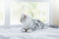 Cat lying on white bed. American Shorthair cat lying on white bed and looking out the window Royalty Free Stock Images