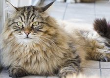 Wonderful long haired cat of siberian breed Stock Photos