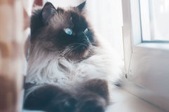 Cat lying on the window sill. The Himalayan breed Royalty Free Stock Image