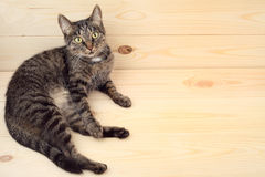 Cat lying on the wood floor Royalty Free Stock Photos