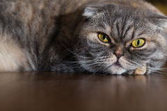 Cat is lying on the wooden floor. Royalty Free Stock Photos