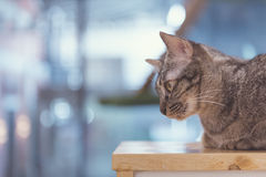 Cat lying on wooden table Royalty Free Stock Photo