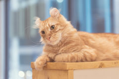 Cat lying on wooden table Stock Image