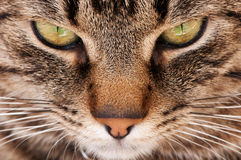 Cat macro Royalty Free Stock Photography