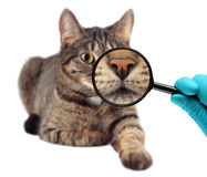 Cat and magnifying glass. Veterinarian doctor making check-up of a cat. Veterinarian doctor making check-up of a cat Royalty Free Stock Images