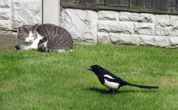 Cat and Magpie Royalty Free Stock Photos