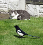 Cat and Magpie Stock Images