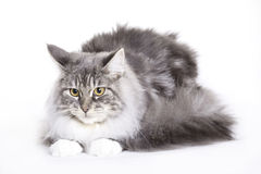 Cat, Main coon. Cat on white background, Maine Coon Stock Image