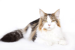 Cat, Main coon Stock Photography