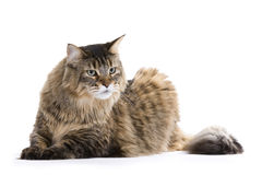Cat, Maine coon Stock Image