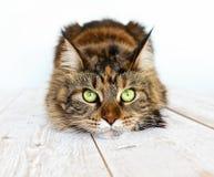 Cat Maine Coon Royaltyfria Foton