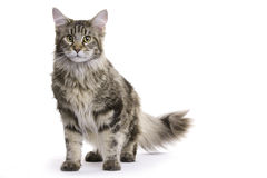 Cat, Maine Coon Stock Photography
