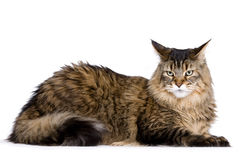 Cat, Maine coon Royalty Free Stock Photo