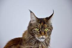 Cat Maine Coon avec de longs beaux glands sur les oreilles Image libre de droits