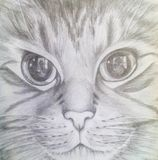 Cat Maine Coon with beautiful eyes. Pencil drawing. Royalty Free Stock Photo