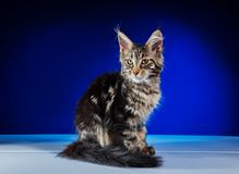 Cat Maine Coon royalty free stock photo