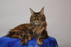 Cat Maine Coon con las borlas hermosas largas en los oídos Fotografía de archivo