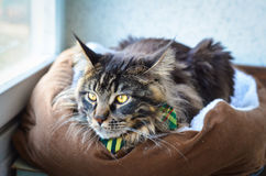 Cat Maine Coon in a Green Tie Butterfly Stock Photos