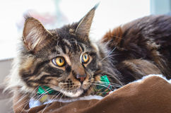 Cat Maine Coon in a Green Tie Butterfly Royalty Free Stock Photography