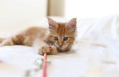 Cat Maine Coon-Kätzchen, das mit Spielzeug liegt und spielt Stockfotos