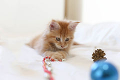 Cat Maine Coon kitten lying and playing with Christmas decoratio Royalty Free Stock Image
