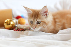 Cat Maine Coon kitten lying and playing with Christmas decoratio Royalty Free Stock Photos