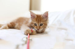 Cat Maine Coon kitten lying and playing with toy Stock Photos