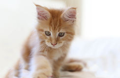 Cat Maine Coon kitten walking Stock Photography