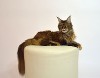 Cat Maine Coon with long beautiful tassels on the ears stock photography