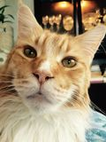 Cat Maine Coon Loved Red magnifique Photos stock