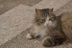 Cat - Maine-Coon Royalty Free Stock Photo