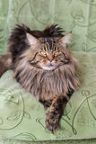 Cat Maine Coon Royalty Free Stock Photography