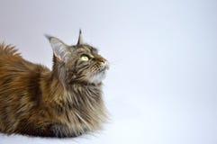 Cat Maine Coon med långa härliga tofsar på öronen Royaltyfri Bild
